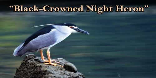 "A Beautiful Bird ""Black-Crowned Night Heron"""