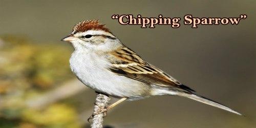 "A Beautiful Bird ""Chipping Sparrow"""