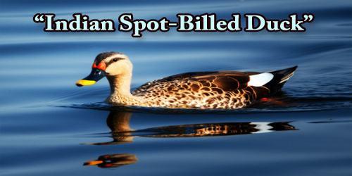 """A Beautiful Bird """"Indian Spot-Billed Duck"""""""