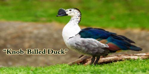 """A Beautiful Bird """"Knob-Billed Duck"""""""