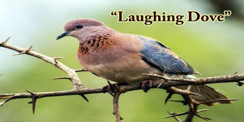 """A Beautiful Bird """"Laughing Dove"""""""