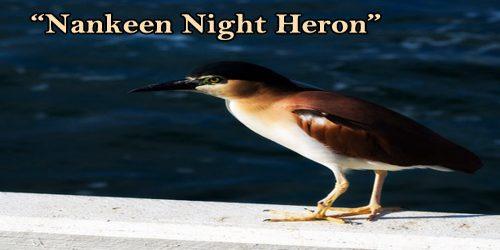 """A Beautiful Bird """"Nankeen Night Heron"""""""