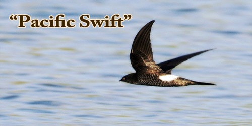 "A Beautiful Bird ""Pacific Swift"""