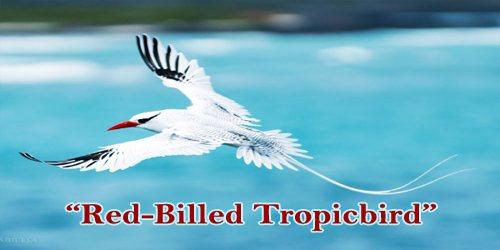 """A Beautiful Bird """"Red-Billed Tropicbird"""""""