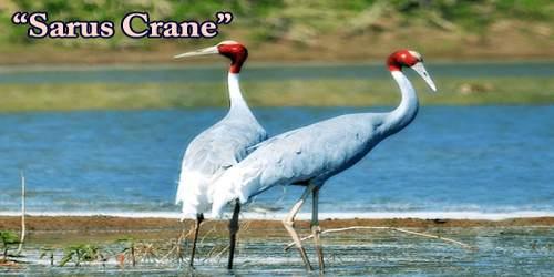 "A Beautiful Bird ""Sarus Crane"""