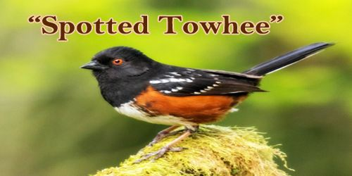 """A Beautiful Bird """"Spotted Towhee"""""""