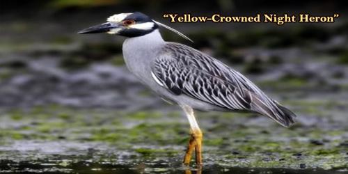 """A Beautiful Bird """"Yellow-Crowned Night Heron"""""""