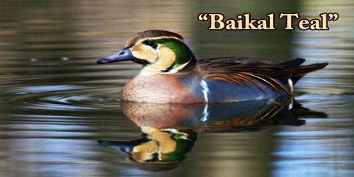 "A Beautiful Bird ""Baikal Teal"""