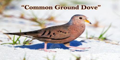 "A Beautiful Bird ""Common Ground Dove"""