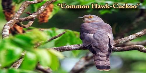 """A Beautiful Bird """"Common Hawk-Cuckoo"""""""
