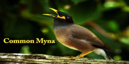 "A Beautiful Bird ""Common Myna"""