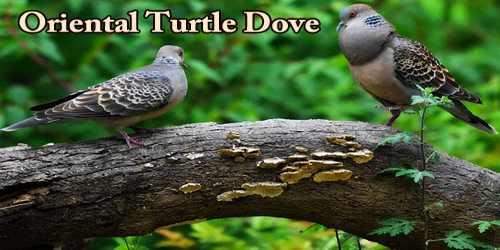 """A Beautiful Bird """"Oriental Turtle Dove"""""""