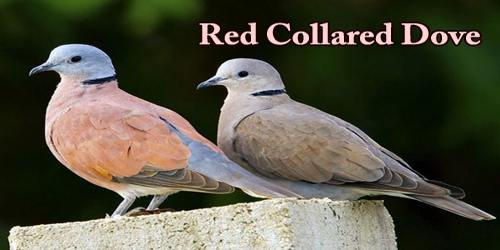 "A Beautiful Bird ""Red Collared Dove"""