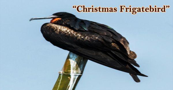 """A Beautiful Bird """"Christmas Frigatebird"""""""