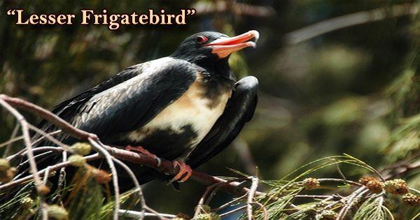 """A Beautiful Bird """"Lesser Frigatebird"""""""