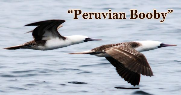 "A Beautiful Bird ""Peruvian Booby"""