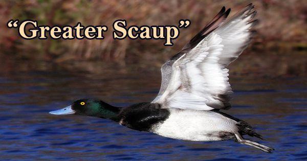 "A Beautiful Bird ""Greater Scaup"""