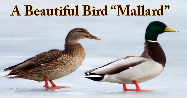 """A Beautiful Bird """"Mallard"""""""