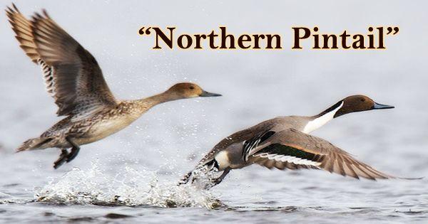 """A Beautiful Bird """"Northern Pintail"""""""