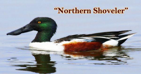 "A Beautiful Bird ""Northern Shoveler"""