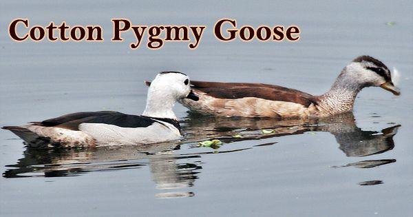 "A Beautiful Bird ""Cotton Pygmy Goose"""