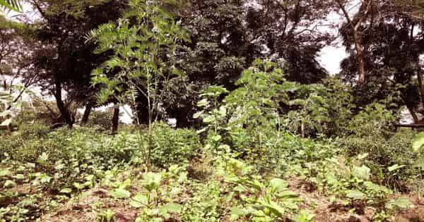 Forest Gardening – an agronomic system