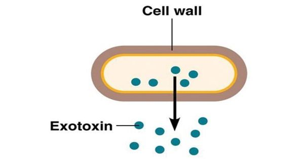 Exotoxin – a toxin secreted by bacteria