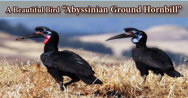 """A Beautiful Bird """"Abyssinian Ground Hornbill"""""""