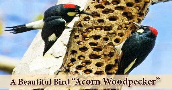 "A Beautiful Bird ""Acorn Woodpecker"""