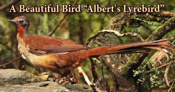 """A Beautiful Bird """"Albert's Lyrebird"""""""