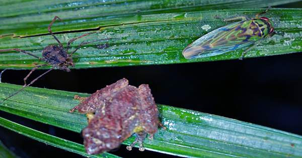 Madagascan Spider Observed Sewing Leaves Together To Create Tempting Trap for Frogs