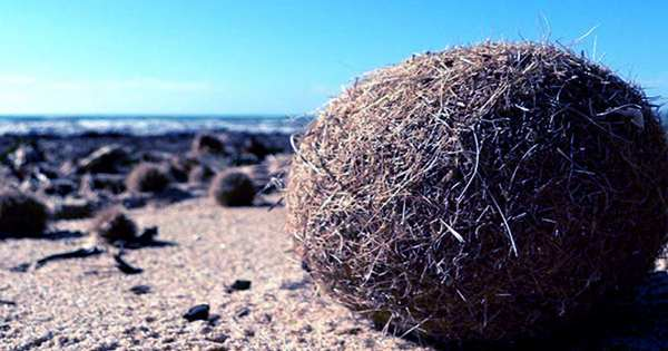 """""""Neptune Balls"""" From Underwater Meadows Help Remove Plastic from the Ocean"""