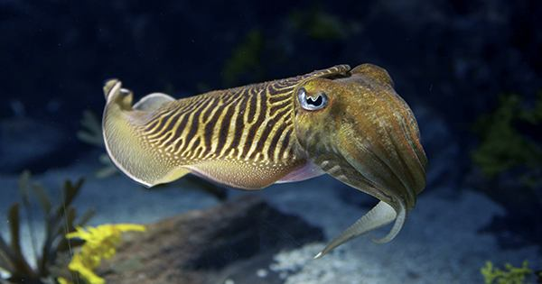 When choosing dinner, cuttlefish can make some complicated decisions