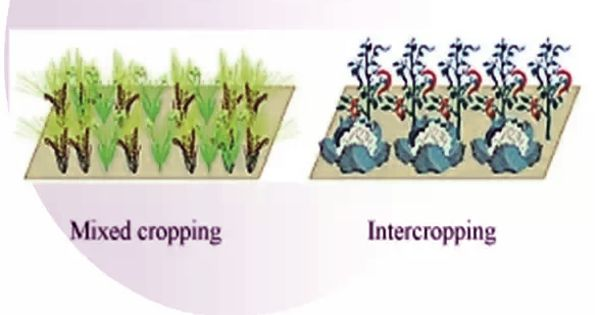 Difference between Mixed Cropping and Intercropping