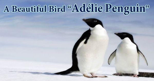 "A Beautiful Bird ""Adélie Penguin"""