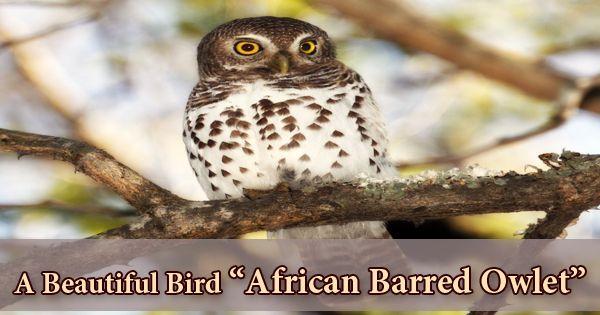 """A Beautiful Bird """"African Barred Owlet"""""""