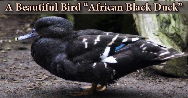 """A Beautiful Bird """"African Black Duck"""""""