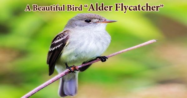 "A Beautiful Bird ""Alder Flycatcher"""