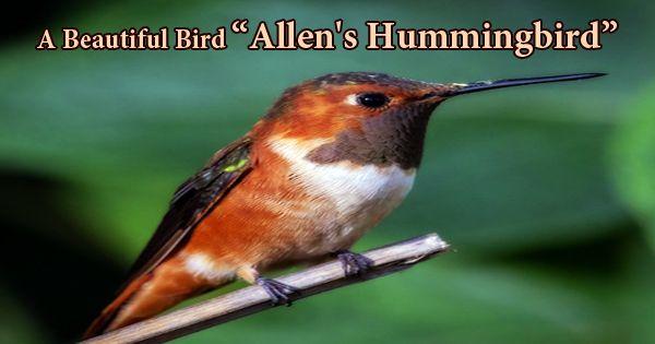 """A Beautiful Bird """"Allen's Hummingbird"""""""