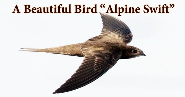 "A Beautiful Bird ""Alpine Swift"""