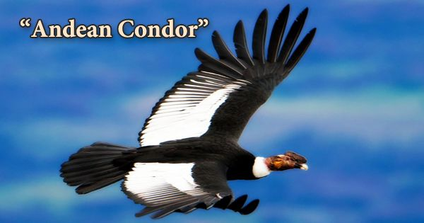 "A Beautiful Bird ""Andean Condor"""