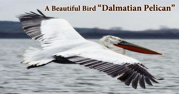 """A Beautiful Bird """"Dalmatian Pelican"""""""