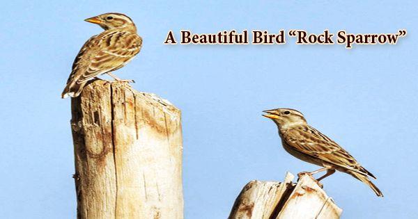 """A Beautiful Bird """"Rock Sparrow"""""""