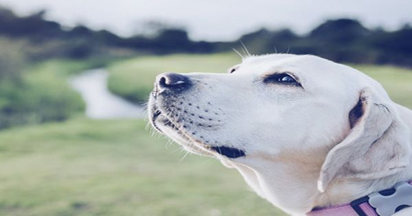 Dogs Might Detect COVID-19 Better Than Current Tests, Review Suggests