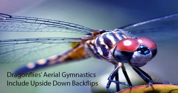 Dragonflies' Aerial Gymnastics Include Upside Down Backflips