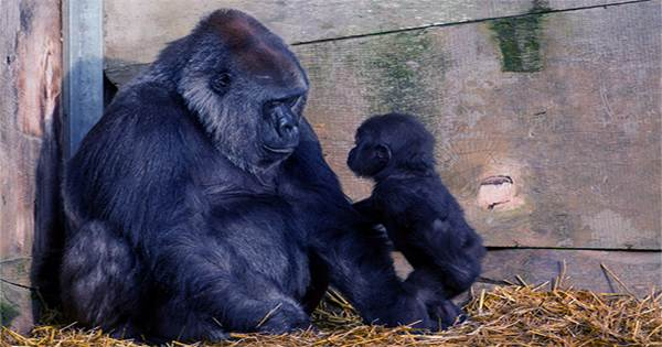Good News as Bristol Zoo Gardens Welcomes a Baby Gorilla