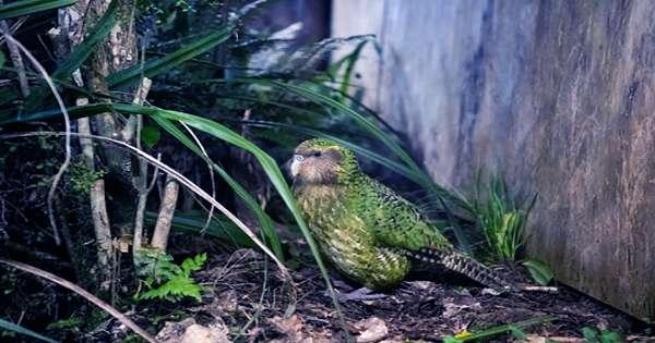 Kākāpō Takes Unprecedented Second Win As New Zealand's Bird of the Year