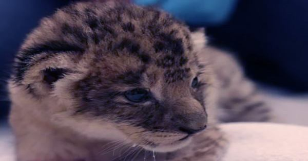 Lion Cub Simba Born Using Sperm Extracted By Electro-Ejaculation Process That Killed Mufasa