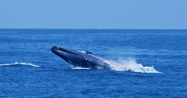 New Blue Whale Population in the Indian Ocean Identified By Unique Song