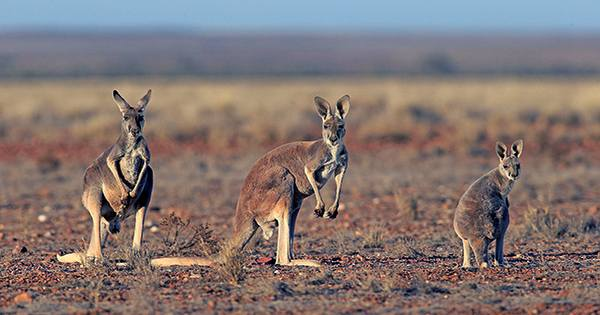 Project Hopes To Explain Why Marsupials Are Better For the Planet than Other Herbivores